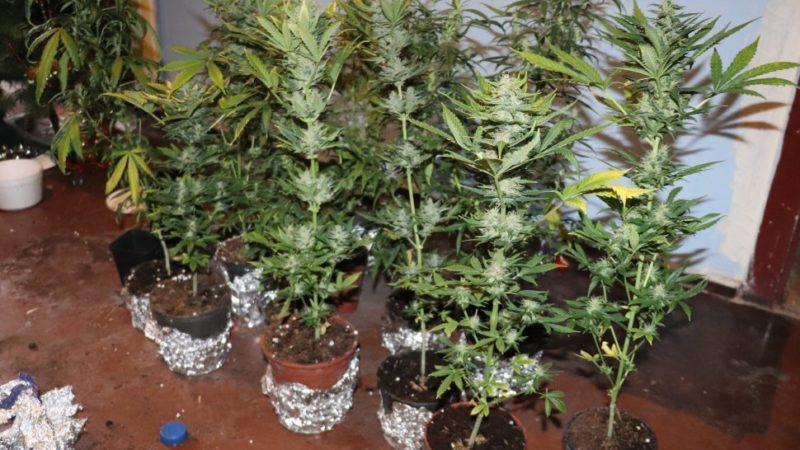 Zlikwidowano domową plantację marihuany